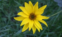 Yellow sunroot flower on green grass background
