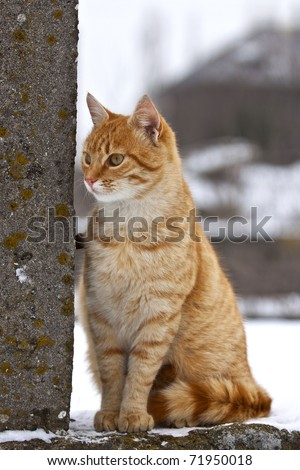 Yellow tabby cat looking for prey in winter time - stock photo