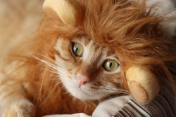 Yellow tabby cat wearing lion wig.
