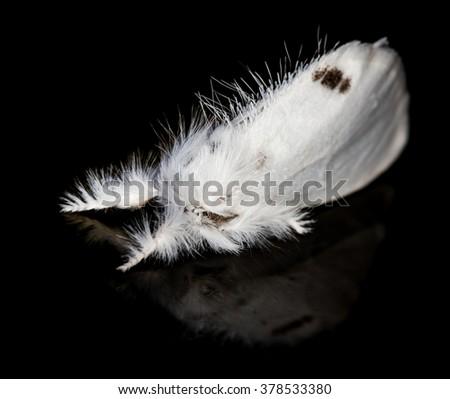 Yellow-tail (Euproctis similis) moth on black background #378533380
