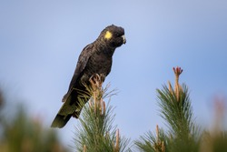 Yellow-tailed Black Cockatoo perched on a tree in the Australian outback