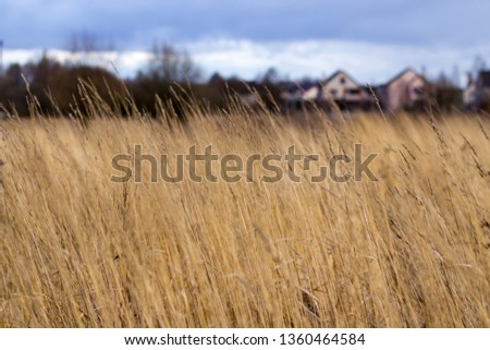 Yellow tall tall grass #1360464584