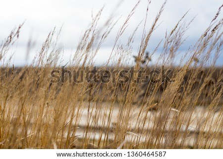 Yellow tall tall grass #1360464587