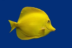 Yellow Tang fish against blue
