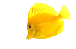 Yellow Tang fish (Zebrasoma flavescens) isolated on white background.