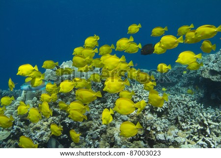 Yellow Tang School