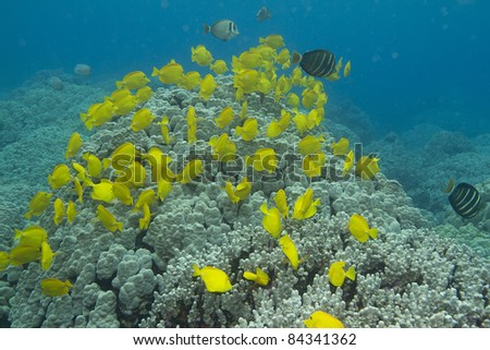 Yellow Tang Schooling