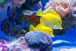 Yellow tang tropical fish ( Zebrasoma flavescens ) .