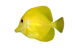 Yellow Tang (Zebrasoma flavescens) isolated on a white background