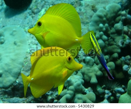 Yellow Tangs with Hawaiian Cleaner Wrasse