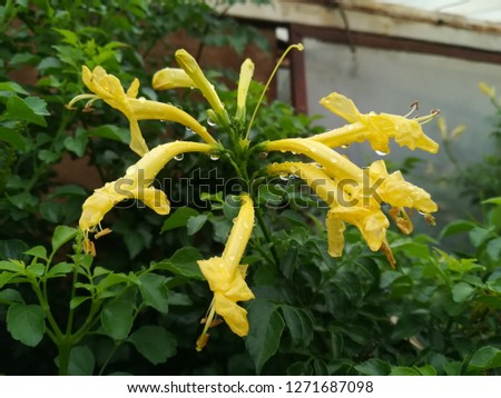 Yellow Tecomaria capensis flower on bush with raindrops, South Africa, building in background.