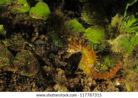 Yellow thorny seahorse next to sea weed (Hippocampus histrix)
