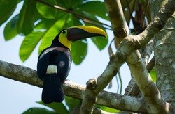 Yellow-Throated Toucan turns head around to be able to look backwards while perched on a thick branch