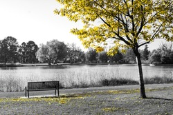 Yellow tree above an empty park bench in a black and white fall landscape scene