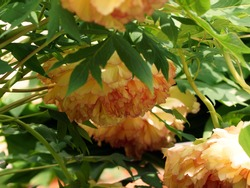 Yellow Tree Peony Paeonia suffruticosa. Peony bowed heavy flower heads.