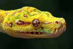 Yellow tree python snake on branch, snake on branch, reptiles closeup