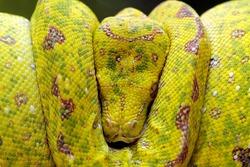 Yellow tree python snake on branch, snake on branch, reptiles closeup