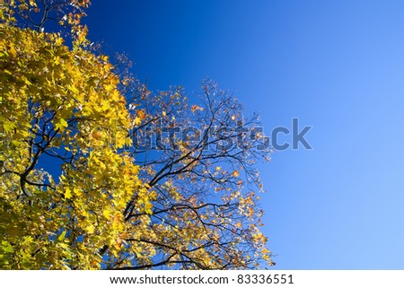 Yellow trees of a maple in a bright sunlight