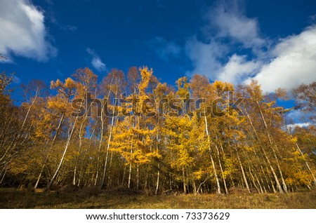 Yellow trees on a bright sunny autumn afternoon with cloudy blue sky overhead. Photo taken in Warburg nature reserve in Oxfordshire, England.