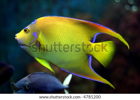 Tropical Fish Pictures on Stock Photo Yellow Tropical Fish 4781200 Jpg