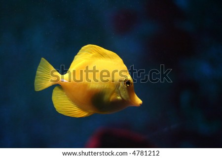 Yellow tropical fish over blue background.
