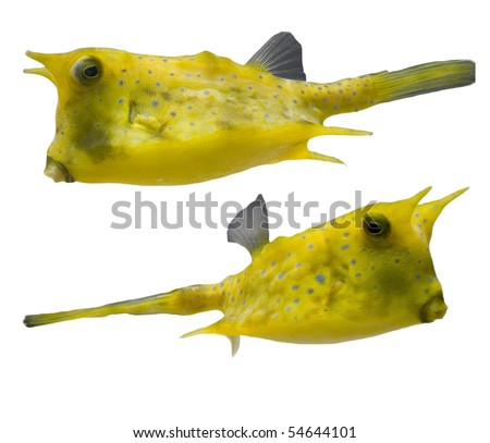 Yellow Tropical fishes, isolated on a white background