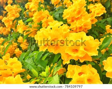 Yellow trumpetbushyellow bells flower tecoma stans is the yellow trumpetbushyellow bells flower tecoma stans is the official flower of the mightylinksfo