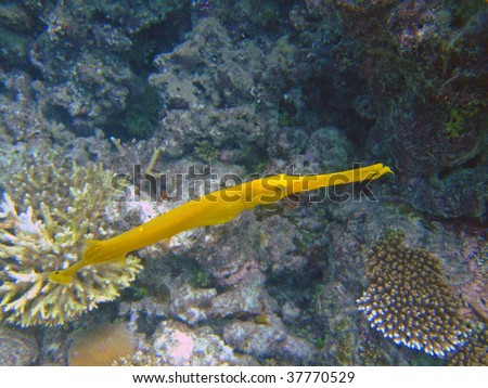 Yellow trumpetfish, Mirihi, Ari Atoll, Maldives