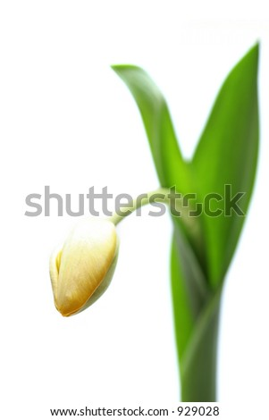 yellow tulip, a highkey macro from the front with shallow depth of field, shot over white