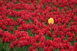 Yellow tulip bucking the trend.  Skagit Valley, Washington State, USA.