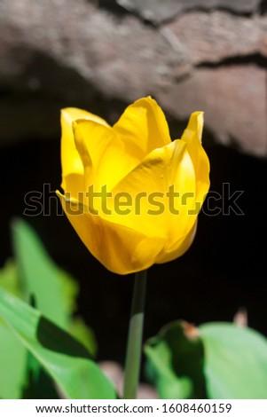 Yellow tulip closeup closeup in spring sunny day