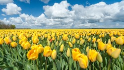 yellow tulip field in the Netherlands with white clouds and a blue sky