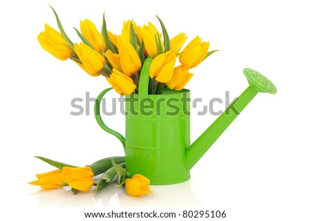 Yellow tulip flower arrangement in green watering can and loose isolated over white background.