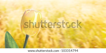 Yellow tulip flower with beautiful background
