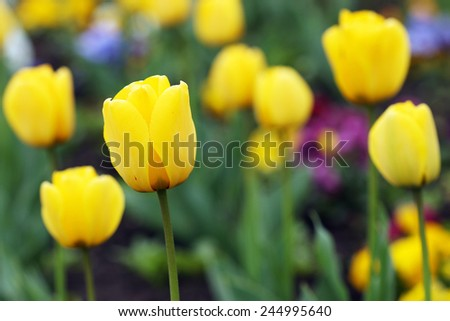 yellow tulip flowers garden spring season
