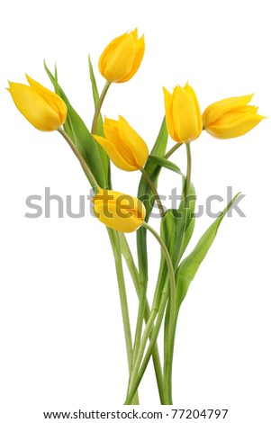 Yellow tulip flowers  Yellow tulips on white background