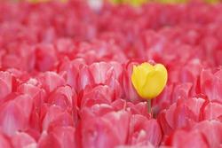Yellow tulip on red tulips