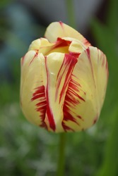 Yellow tulip (tulipa) with red stripes. A yellow coloured tulip against a green background in the Tulip Garden