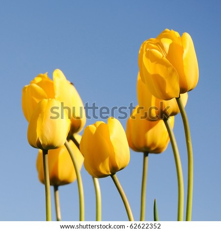 yellow tulips against blue sky