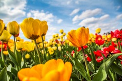 Yellow tulips and the blue sky