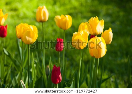 yellow tulips flowers on green