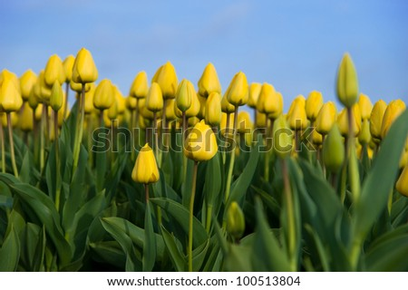 Yellow tulips from a low perspective