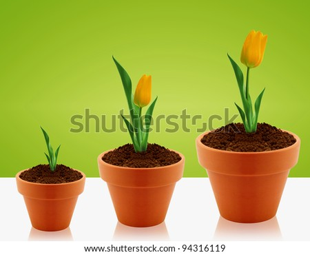 Yellow Tulips growing in three levels in clay garden pot.