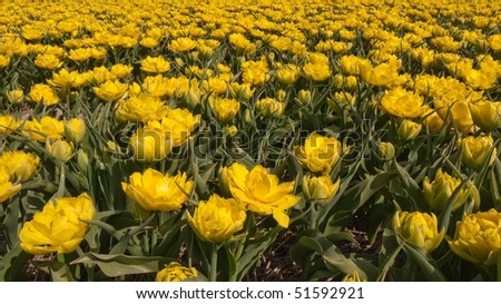 Yellow tulips in a field - stock photo