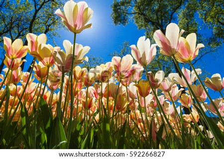 Yellow tulips in a tulip garden in Istanbul. Photo is taken from bottom of the plants. Sun is hiding behind the front most yellow tulip. #592266827