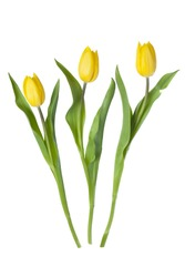Yellow tulips isolated on white.