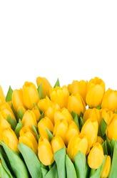 Yellow tulips isolated on white background