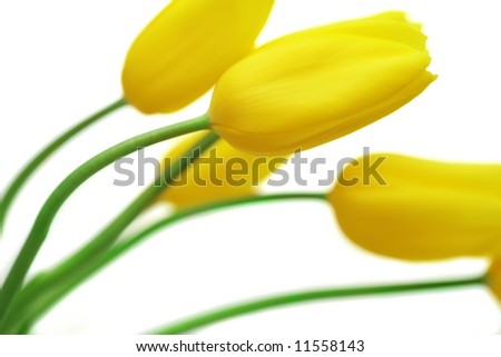 yellow tulips. isolated on white background