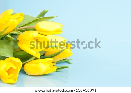 yellow tulips on a blue background with copy space