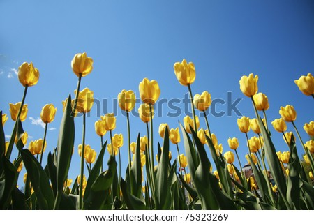 Yellow tulips on a blue sky